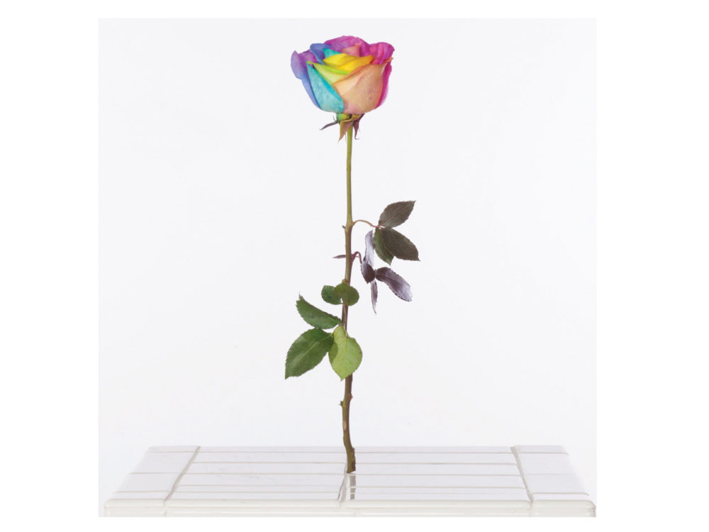 A rose with rainbow-colored petals